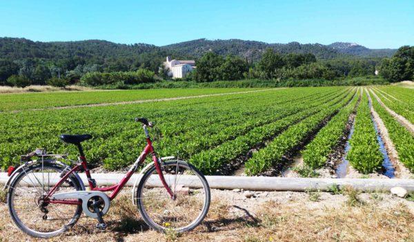 champ de persicaire à indigo avec un vélo en premier plant et l'abbaye de silvacane en arrière plant