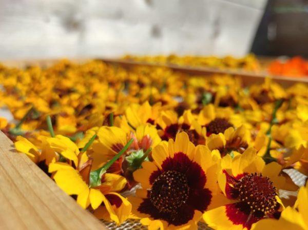 séchage des fleurs de coréopsis des teinturiers coupés