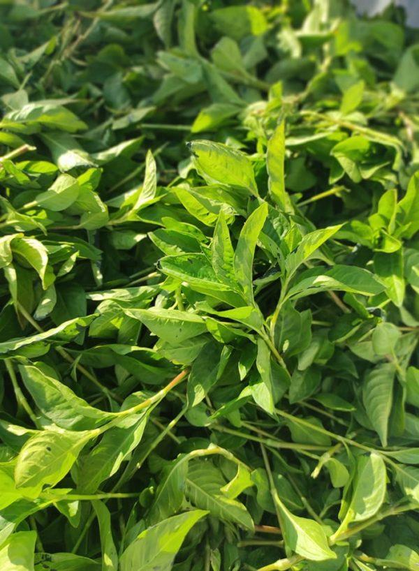 photo de feuilles de persicaire à indigo fraichement coupée