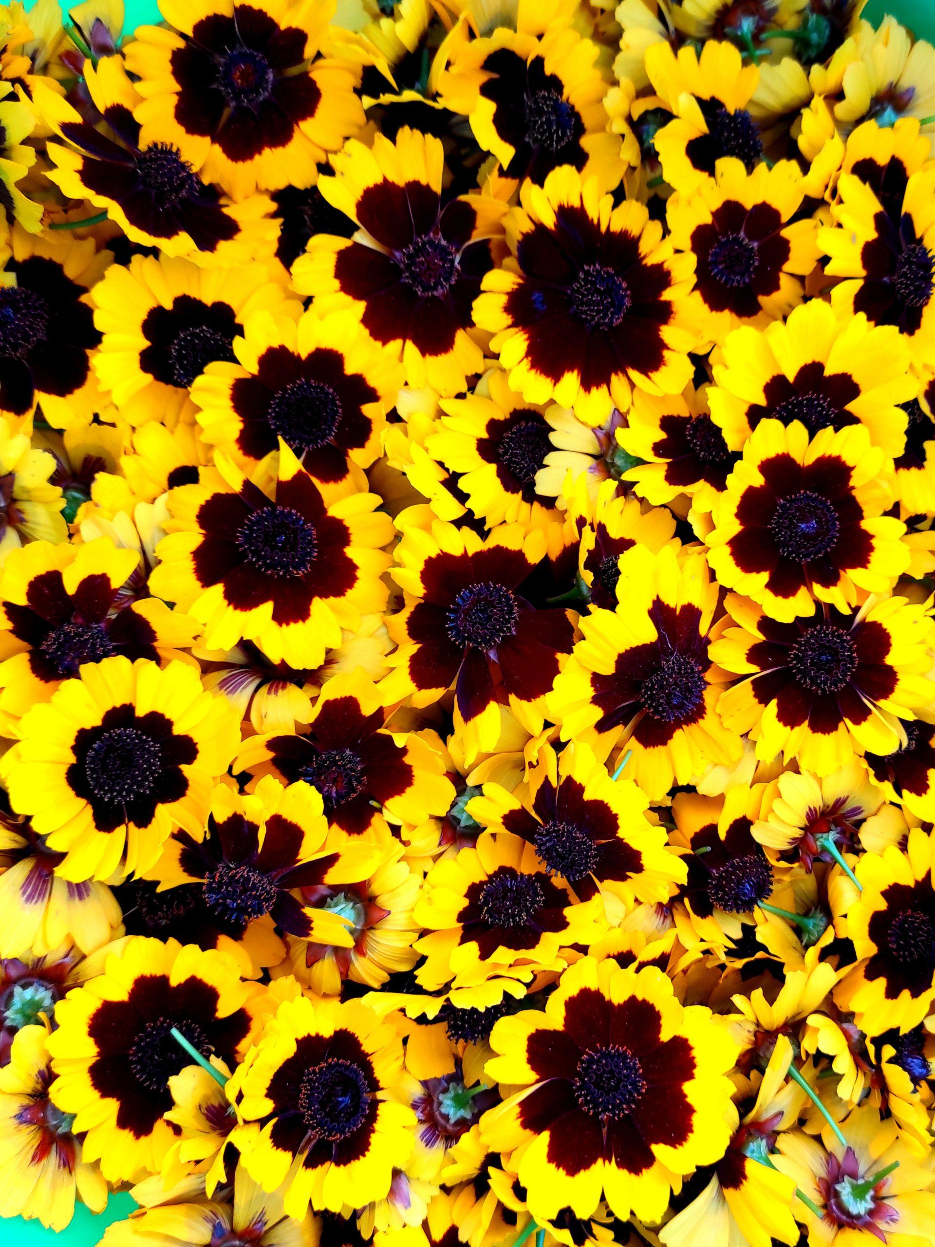 photo de fleurs de coréopsis des teinturiers coupés
